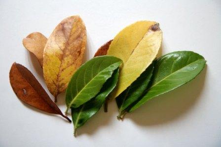 feuilles-laurier-couleurs
